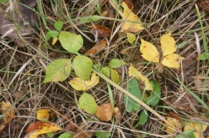 how to avoid poison ivy outdoors while hiking or camping