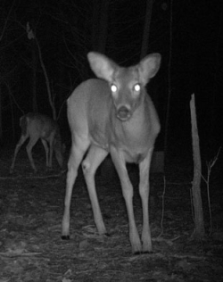 night vision trail camera image