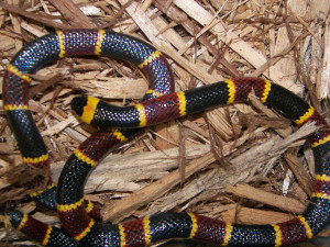 recognizing venomous snakes