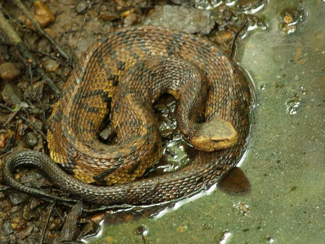 venomous snakes of north america