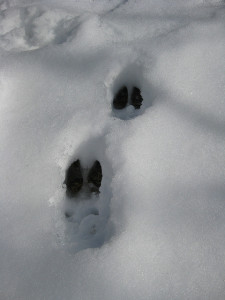 recognizing animal tracks